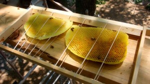 Two end-combs tied up and ready to go in the receiving hive-body.