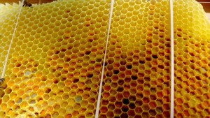 Comb full of bee-bread (fermented pollen) and nectar.