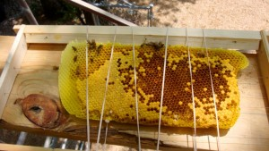 One of the pristine combs meticulously cut out and trussed up, ready to go back into the receiving hive-body.