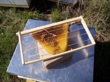 Tied up comb for swarm hive.