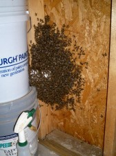 Bees hanging around the entrance to the swarm bucket.