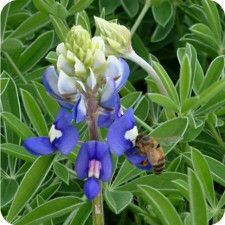Honeybee enjoying a Texas Bluebonnet